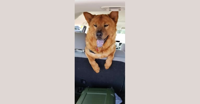 Photo of Penny, a Chow Chow and Rat Terrier mix in Yakima, WA, USA
