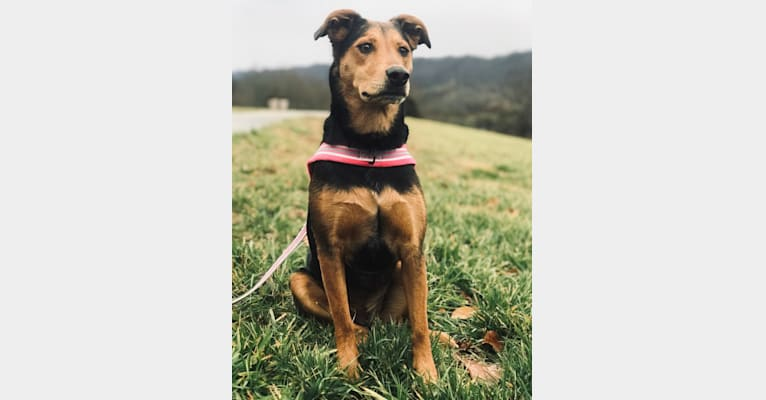 Photo of Marley, a Plott, Airedale Terrier, American Pit Bull Terrier, Beagle, and Mixed mix in Elizabethton, Tennessee, USA