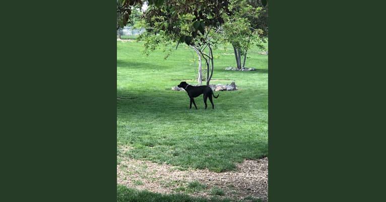Photo of Ella/Ella Bean/Beans, an American Pit Bull Terrier, Rottweiler, and Labrador Retriever mix in Idaho, USA