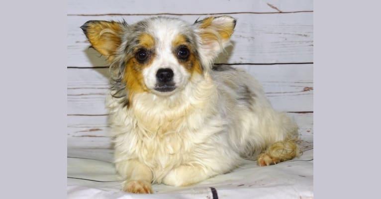 Photo of Chalupa, a Chihuahua
