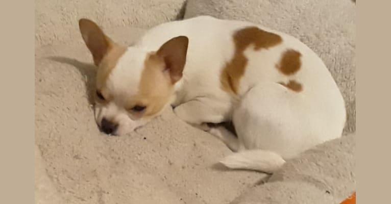 Photo of Rocket, a Chihuahua