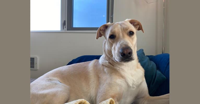 Photo of Manchego, a German Shepherd Dog and American Pit Bull Terrier mix in SF, California, USA