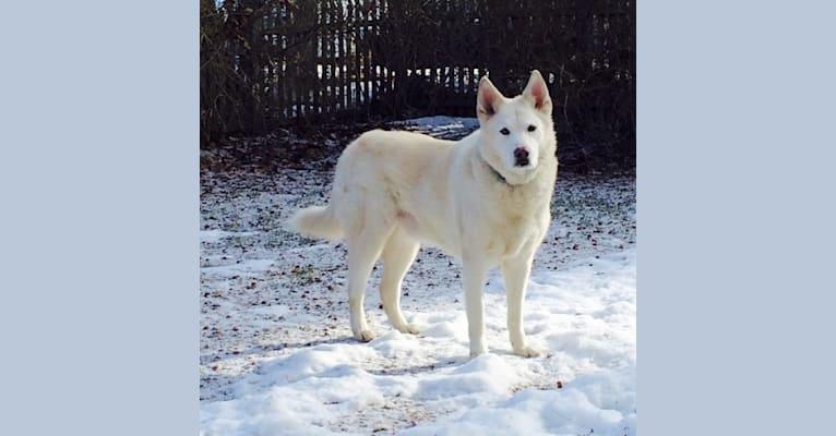 Photo of Nanuk, a Siberian Husky mix