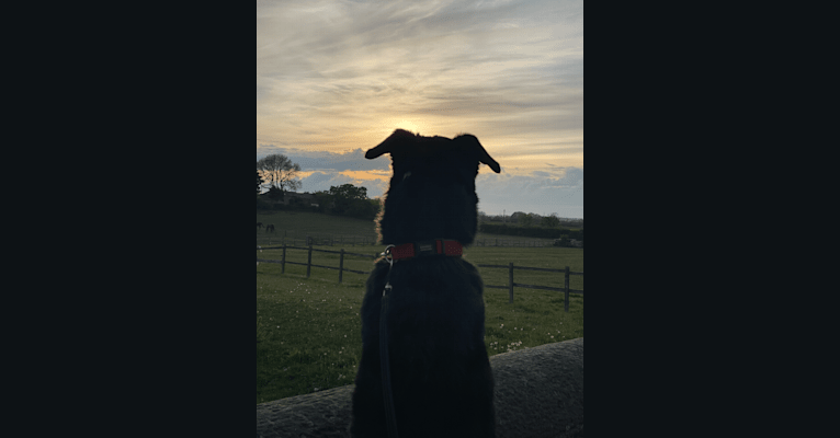 Photo of Charlie, a Poodle (Standard), German Shepherd Dog, Labrador Retriever, Alaskan Malamute, and Siberian Husky mix in Shiremoor, England, United Kingdom