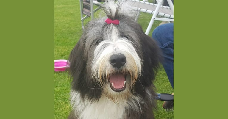 Photo of Famke, a Bearded Collie