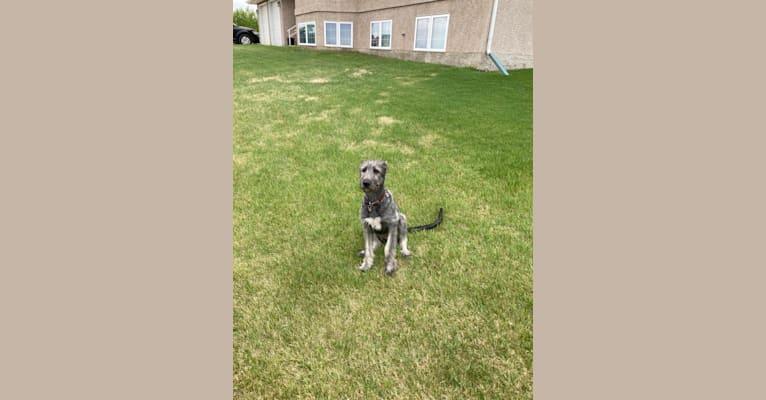 Photo of Rogue, an Irish Wolfhound  in Leavitt, AB, Canada