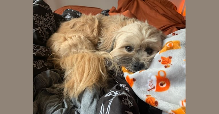Photo of Benny, a Shih Tzu and Chihuahua mix in Mt Prospect, Illinois, USA