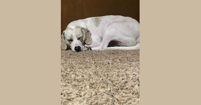 Photo of Jack, a Boxer, Beagle, and Labrador Retriever mix in Manhattan, Illinois, USA