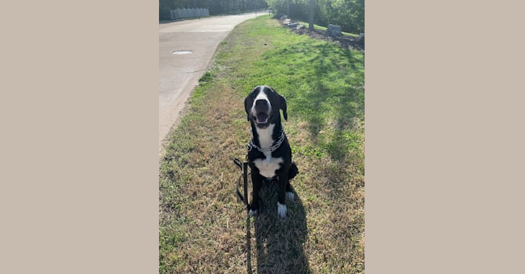 Photo of Rosie, a Labrador Retriever, American Pit Bull Terrier, Basset Hound, and Mixed mix in Louisiana, USA