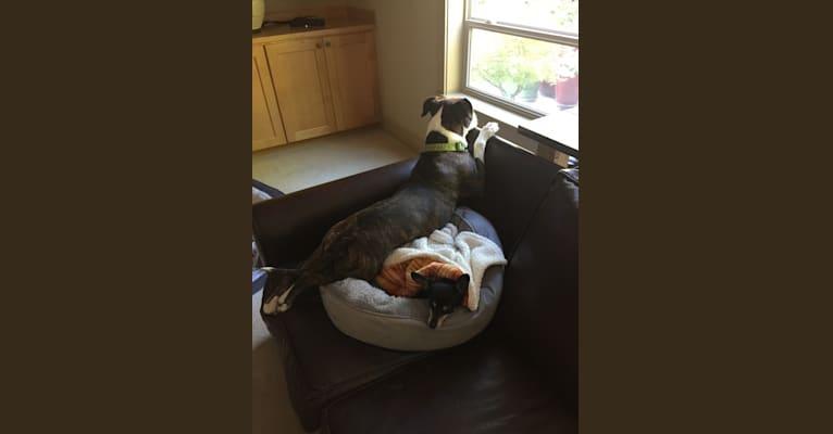 Photo of Ada, an American Staffordshire Terrier, Bulldog, and American Bulldog mix in California, USA