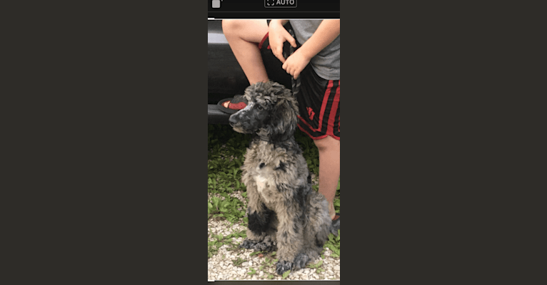 Photo of Aria, a Poodle (Standard)