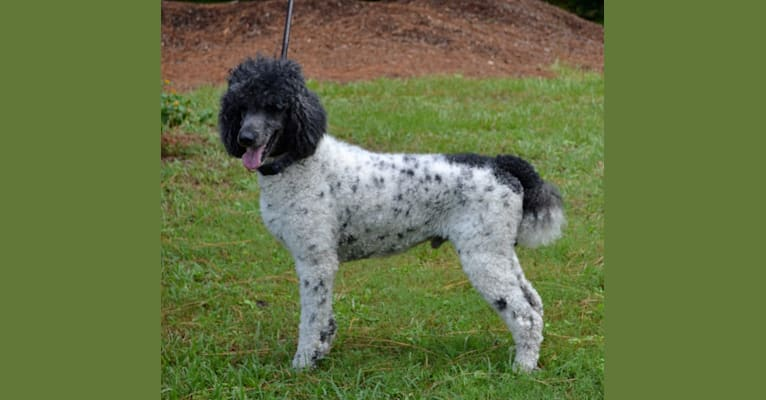 Photo of Winston, a Poodle (Standard)  in Hernando, FL, USA
