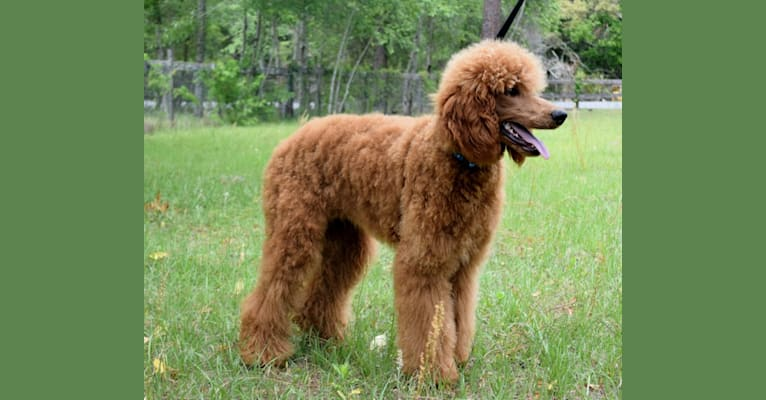 Photo of Conan, a Poodle (Standard)  in Brooksville, FL, USA