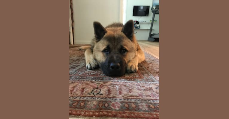 Photo of Jack, a Chow Chow and German Shepherd Dog mix in Spring, Texas, USA