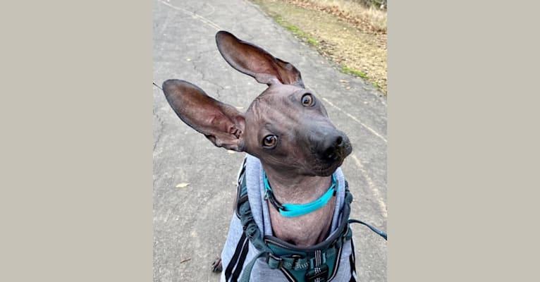 Photo of Enrico, a Xoloitzcuintli  in Simi Valley, CA, USA