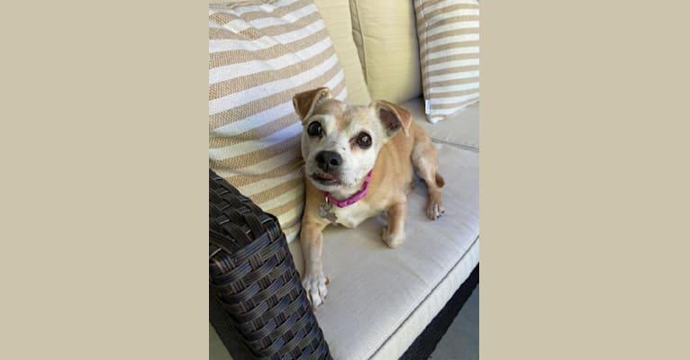 Photo of Macy, a Chihuahua and Pekingese mix in Boise, Idaho, USA