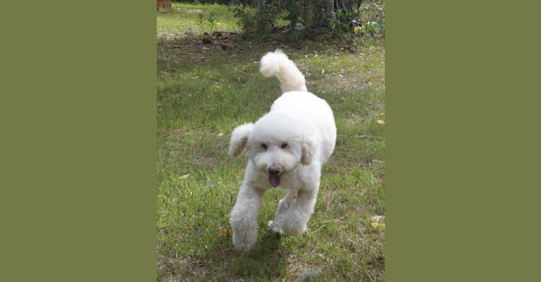 Photo of Georgie, a Poodle (Small) and Bichon Frise mix