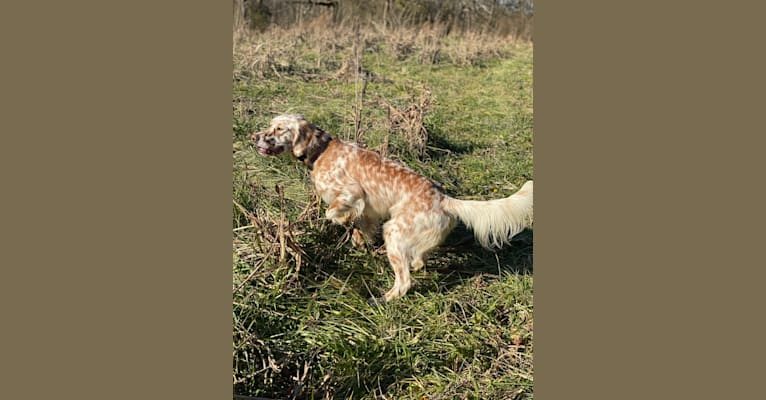 Photo of Toby, a Llewellin Setter  in Augusta, Georgia, USA