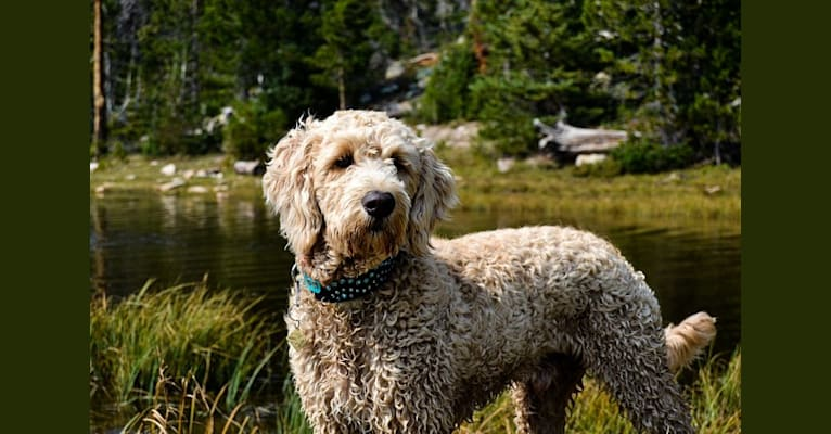Photo of Bunker, a Goldendoodle  in Utah, USA