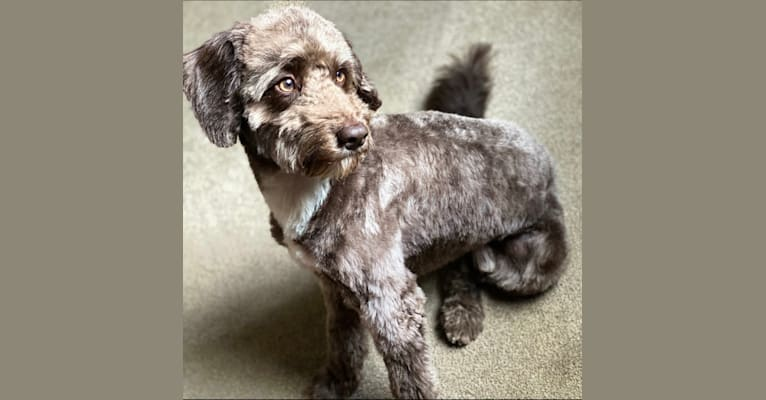 Photo of Koda, an English Cocker Spaniel (Working Type) and Poodle (Small) mix in Telford, UK