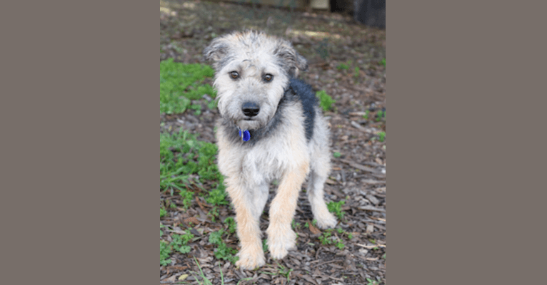 Photo of Marley, a Miniature Schnauzer, Chihuahua, American Pit Bull Terrier, Australian Cattle Dog, and American Staffordshire Terrier mix in Merced, CA, USA