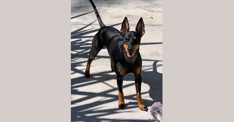 Photo of Mason, a Manchester Terrier (Toy)