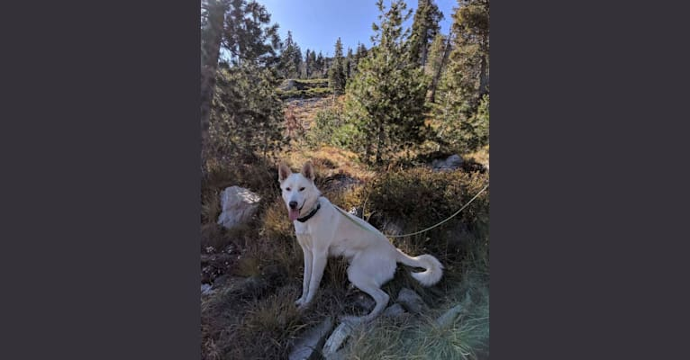 Photo of Summit, a Siberian Husky, Great Pyrenees, and Australian Cattle Dog mix in Oregon, USA