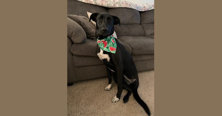 Photo of Tippy, a German Shepherd Dog, Mountain Cur, and Boxer mix in Kentucky, USA