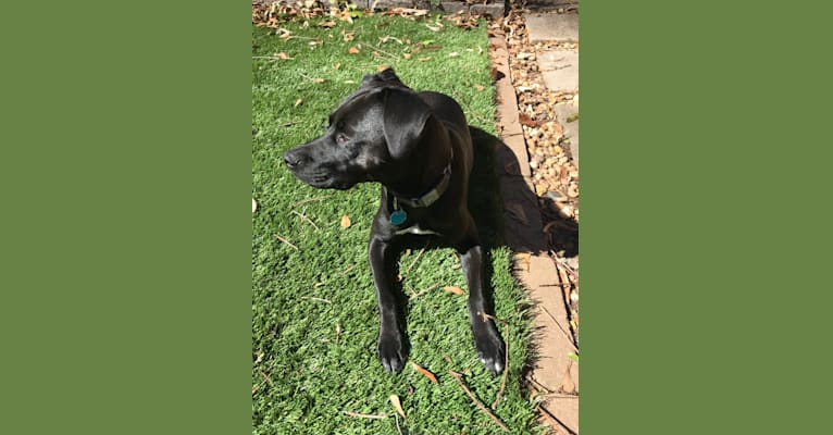 Photo of Frankie Jam, a Boxer, American Pit Bull Terrier, Mountain Cur, Labrador Retriever, and Mixed mix in Kentucky, USA