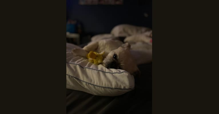 Photo of Dooey, a Pekingese, Lhasa Apso, and Poodle (Small) mix in North St Paul, Minnesota, USA