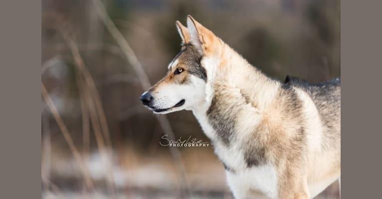 Photo of Giro, a Saarloos Wolfdog