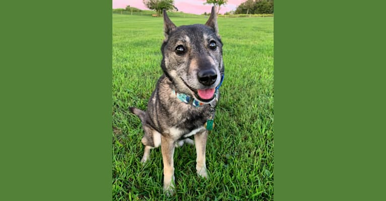 Photo of Gus, a Norwegian Elkhound, German Shepherd Dog, and Russell-type Terrier mix in Detroit, Michigan, USA