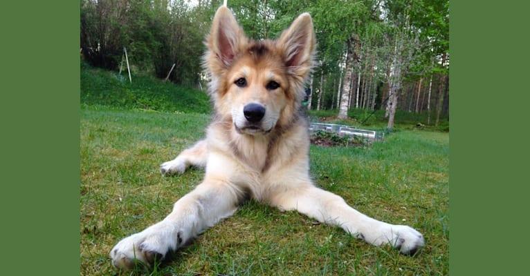 Photo of Fenrir af Hansjö, a German Shepherd Dog and Siberian Husky mix