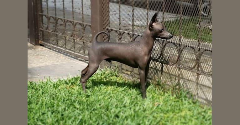 Photo of Silverio, a Xoloitzcuintli  in Canada