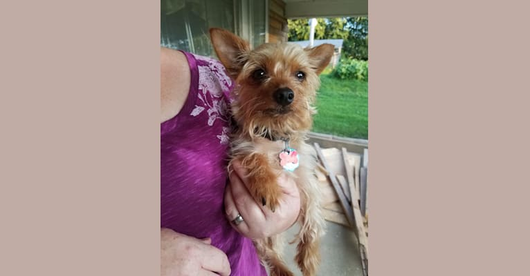 Photo of Chibi, a Beagle and Yorkshire Terrier mix in Vine Grove, Kentucky, USA