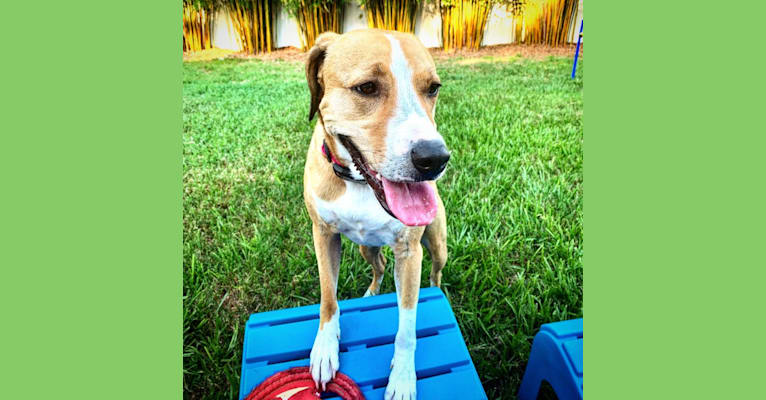 Photo of Harper, an American Bully, American Pit Bull Terrier, American English Coonhound, Chow Chow, and Mixed mix in E.A.R.S Elizabeth's Animal Rescue & Sanctuary, Altamont Lane, Odessa, FL, USA