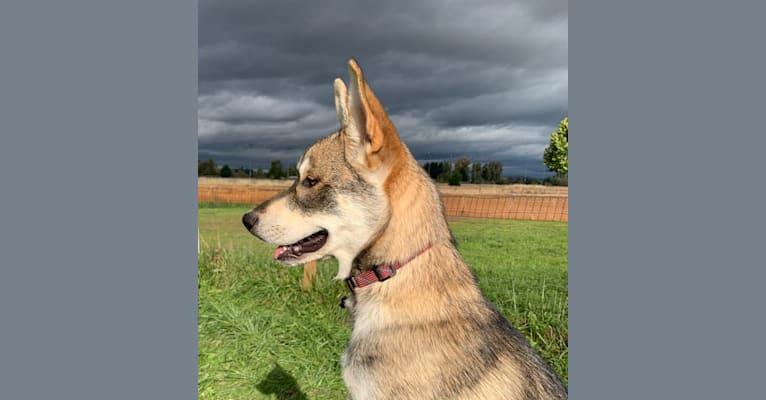 Photo of Pepper, a Siberian Husky, Alaskan Malamute, German Shepherd Dog, and Mixed mix in Texas, USA