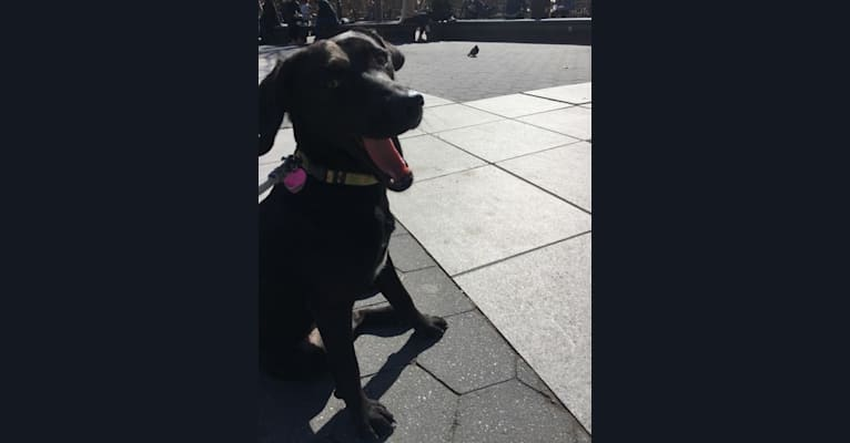 Photo of Charlie Bear, an American English Coonhound, Labrador Retriever, and Beagle mix in Louisiana, USA