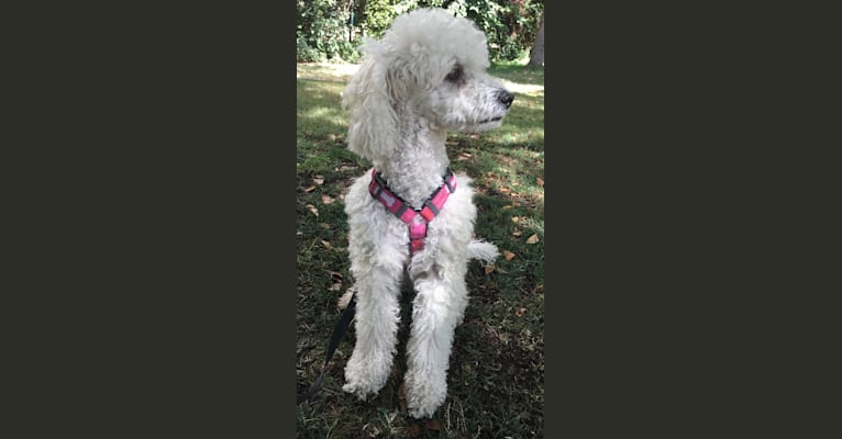Photo of Pilli, a Poodle (Small) and Mixed mix in Providencia, Región Metropolitana, Chile
