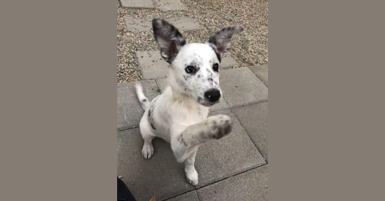 Photo of Pepper, a Border Collie, Australian Cattle Dog, and Mixed mix in 7909 Carmencita Avenue, Sacramento, CA, USA
