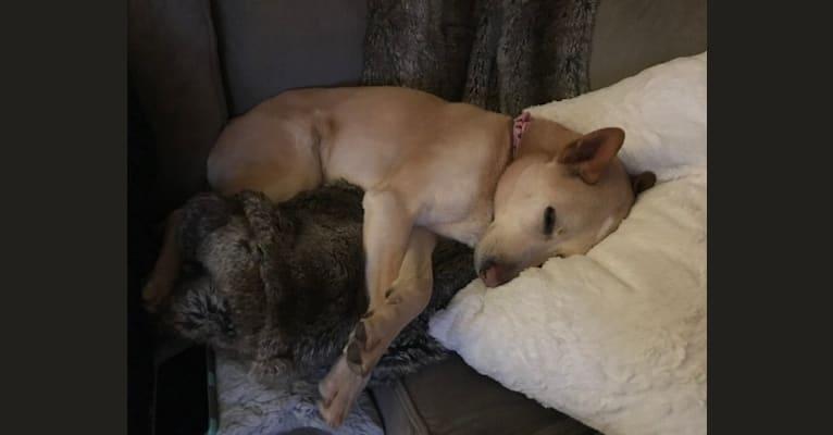 Photo of Storm, a Siberian Husky, German Shepherd Dog, and Rottweiler mix in Elmwood Park, Illinois, USA