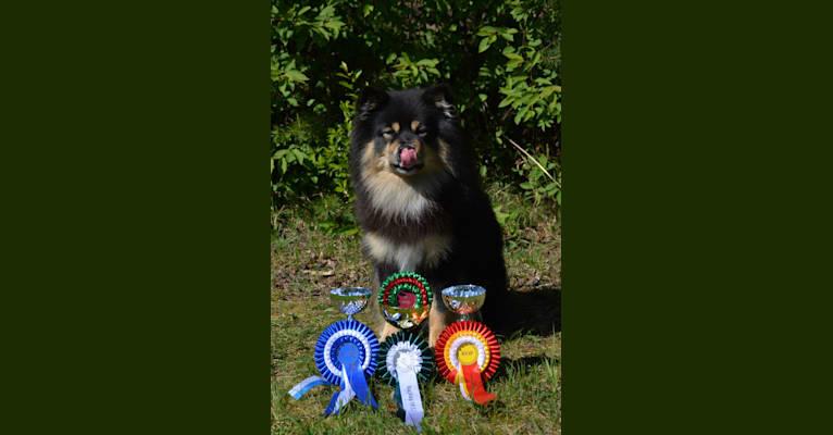 Photo of Peikkovuoren Kismet, a Finnish Lapphund