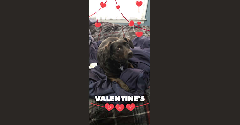 Photo of Lucy, a Rat Terrier, Labrador Retriever, Cocker Spaniel, and Mixed mix in Tennessee, USA