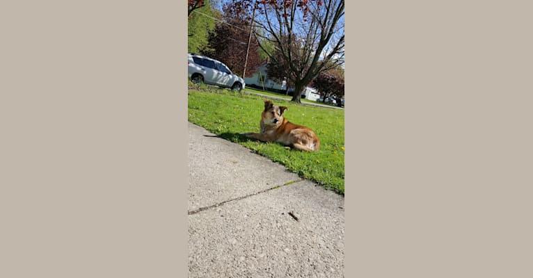 Photo of Buddy, a German Shepherd Dog, Siberian Husky, American Eskimo Dog, Poodle (Small), and Mixed mix in Ashtabula, Ohio, USA