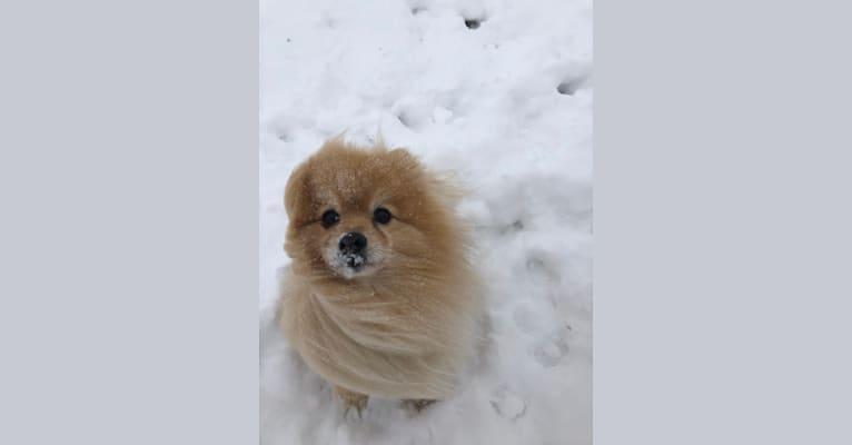 Photo of Grizzle, a Pomeranian  in Calgary, Alberta, Canada