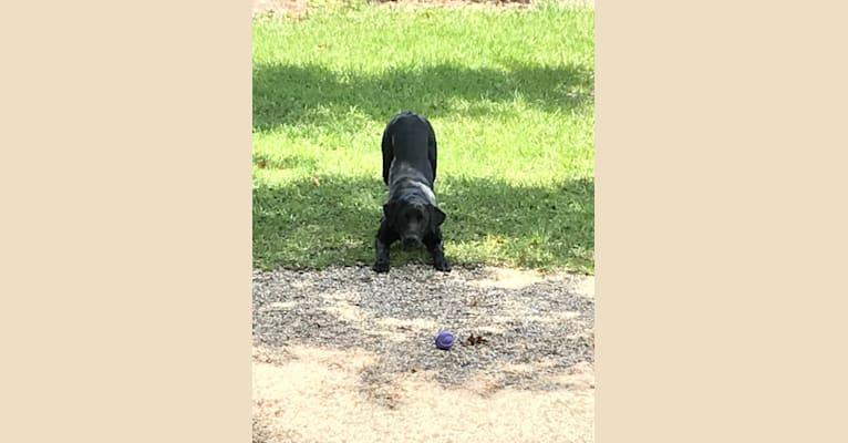 Photo of Gallatin, a Labrador Retriever