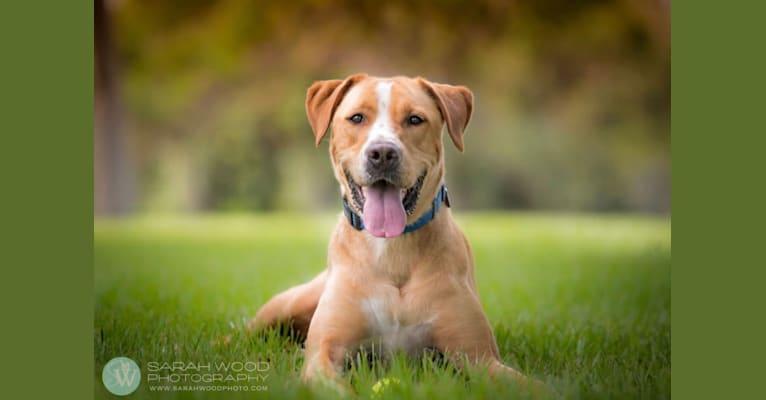 Photo of McDougal, a Labrador Retriever, American Pit Bull Terrier, and American Bulldog mix