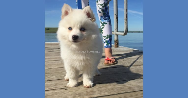 Photo of Dakota Pomskies Sakari, a Siberian Husky and Pomeranian mix
