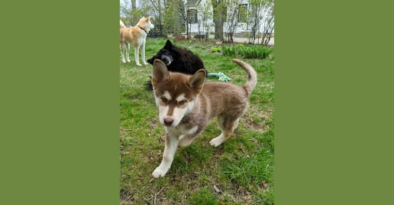 Photo of Gambit, a Siberian Husky, Australian Shepherd, Chow Chow, and Mixed mix in Wauwatosa, Wisconsin, USA