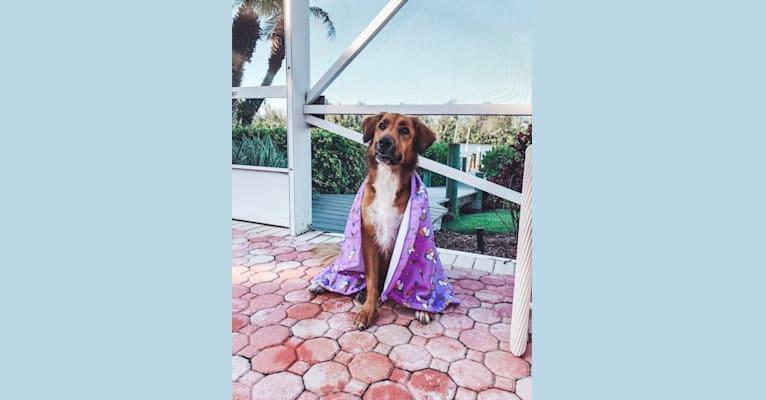 Photo of Sadie Mae, an American Pit Bull Terrier, Beagle, Labrador Retriever, Golden Retriever, and Mixed mix in Canton, GA, USA